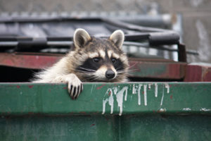 Raccoon in roll-off container